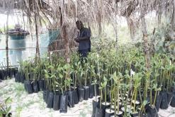 Plantacao de Mangal Kirimba (2)